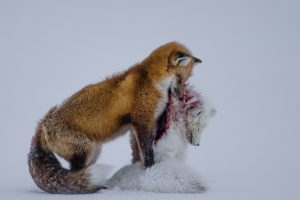 Wildlife Photographer of the Year-Don Gutoski