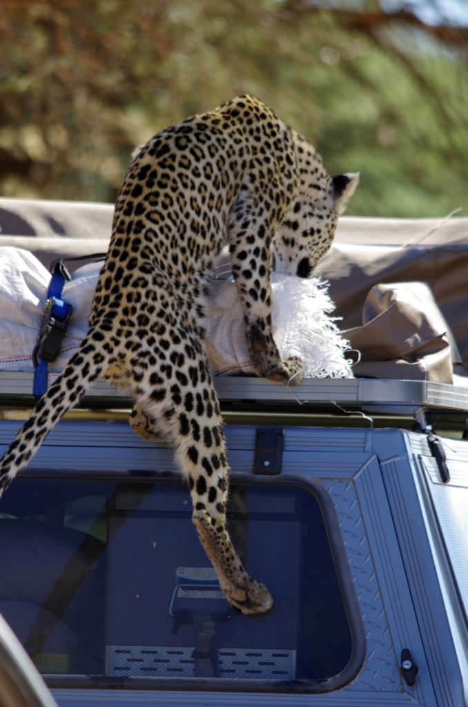Leopard on car-Kgalagadi-Ayesha Cantor-1