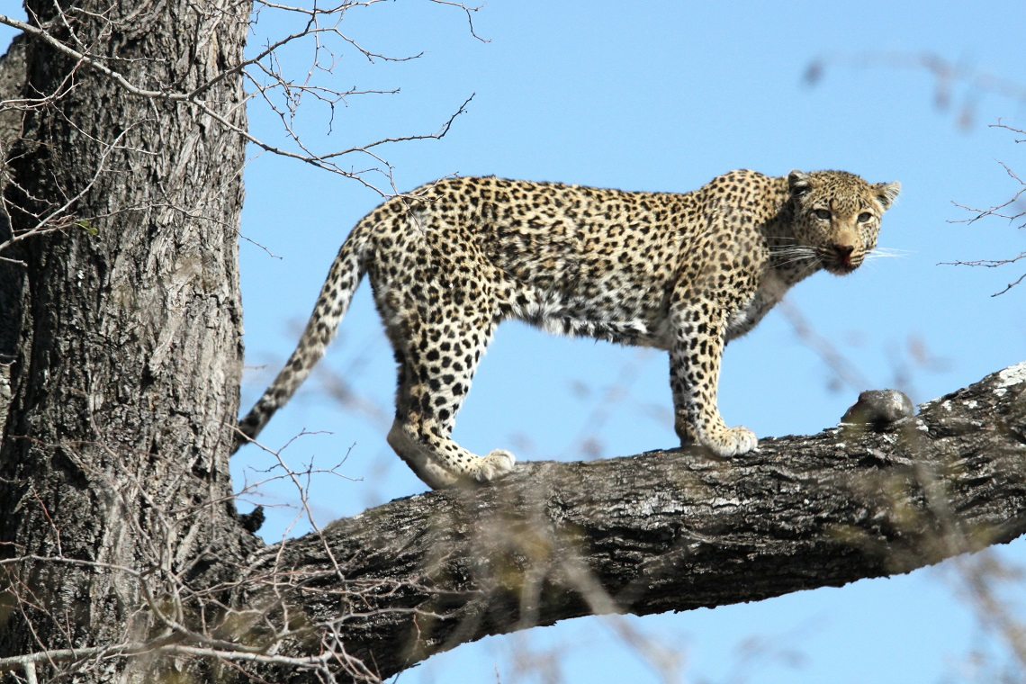 leopard-white-backed-vulture-kruger-graham-pringle-12