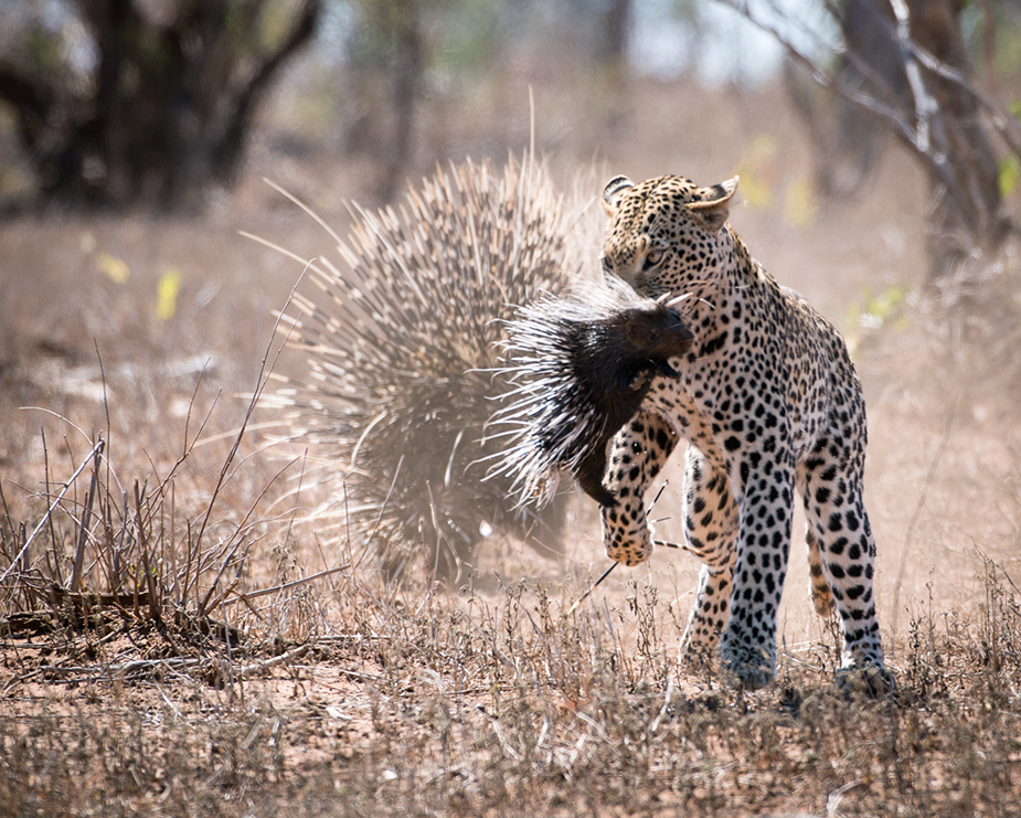 kruger-leopard-and-porcupine-sighting2-john-coe-6