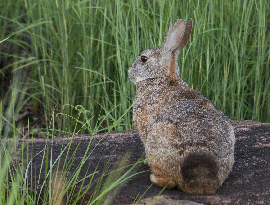 Jamesons red rock rabbit-Samuel Phillips