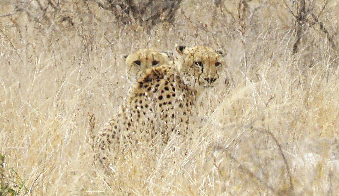 Cheetahs discover a taste for drumsticks