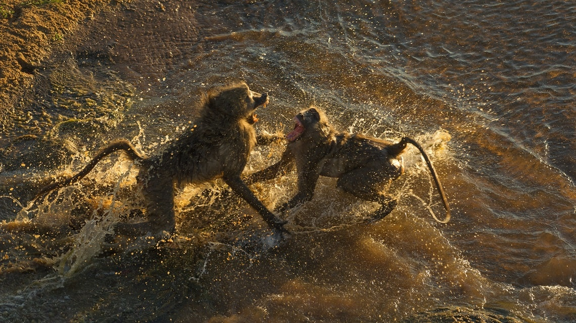 Baboon-Letaba-River-Kruger-Rob Smith-6-min