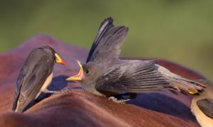 Yellow-billed oxpecker-Kruger-Ian White (5)-min