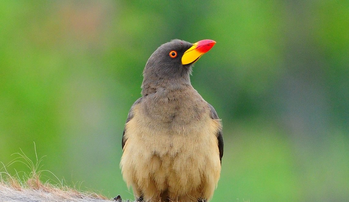 Kruger's yellow-billed oxpeckers in focus