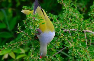 African green pigeon-Paolo Giovanni Cortelazzo-Kruger (3)-min