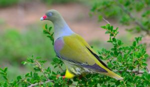 African green pigeon-Paolo Giovanni Cortelazzo-Kruger (4)-min