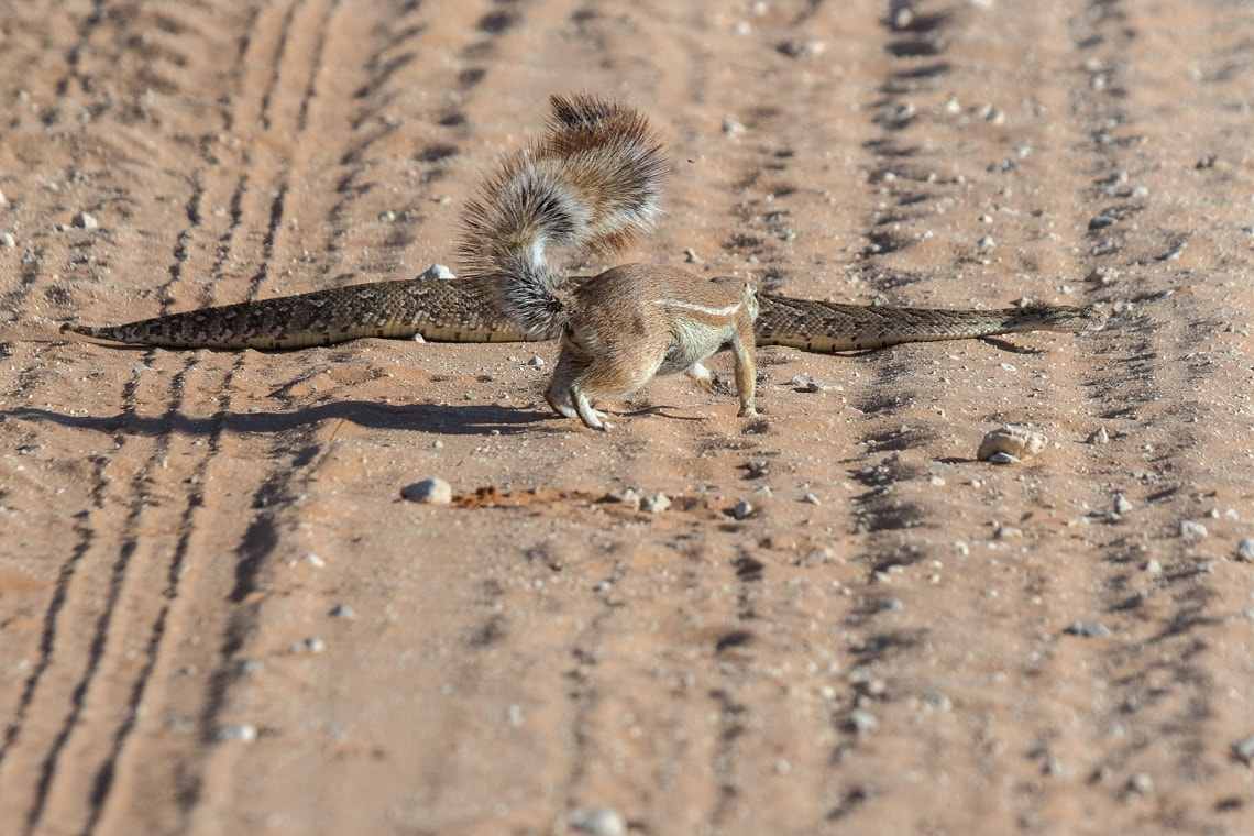 Kgalagadi-puff adder-squirrel-Mike Miles (14)-min