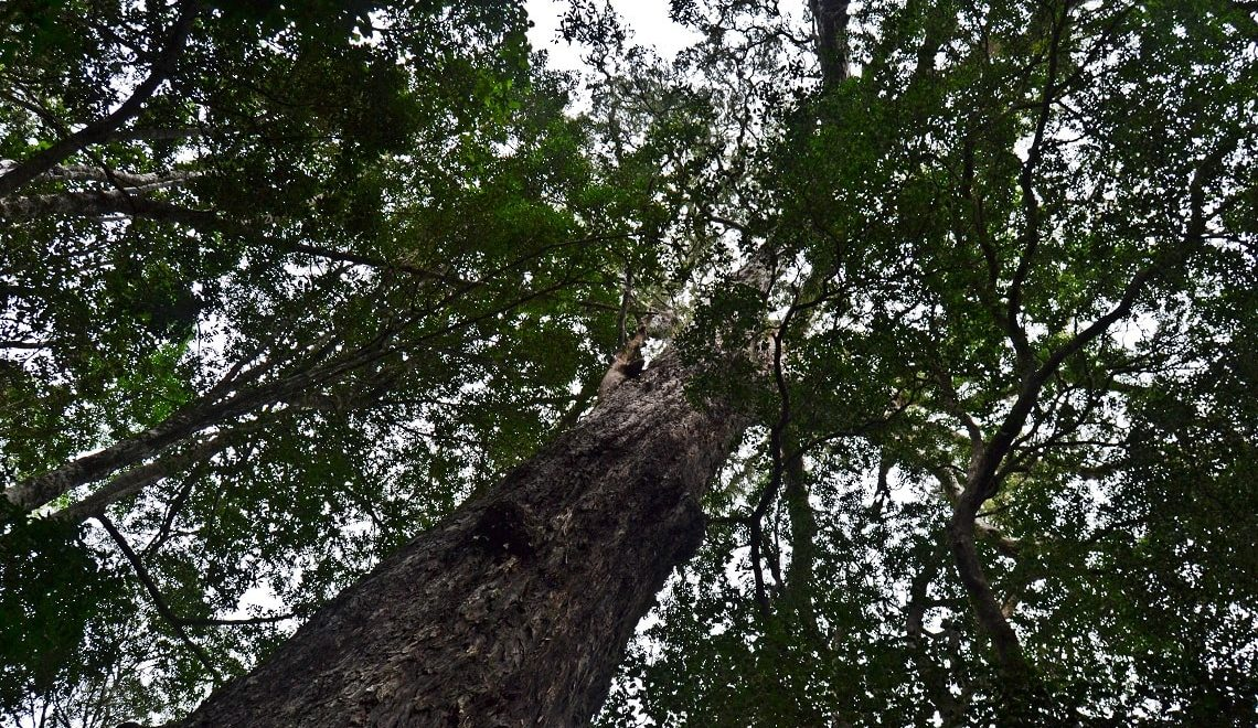 Visit Knysna's Big Tree this Arbor Week